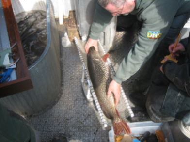 Fisheries staff studying a northern pike for a research project.