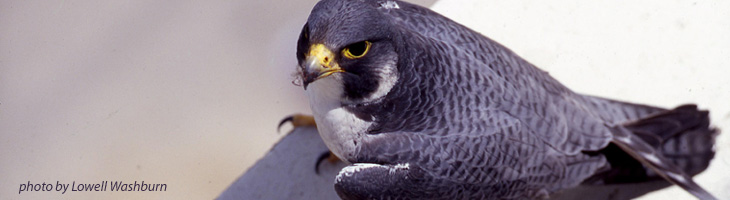 Peregrine Falcon, photo by Lowell Washburn