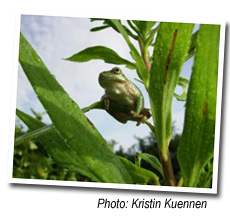 Chorus Frog, photo by Kristin Kuennen
