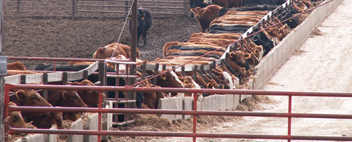 Open Feedlot