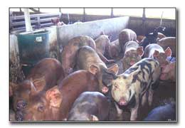Animal Feeding Operations