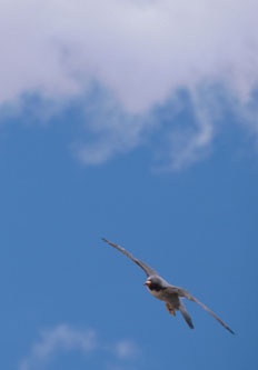 Bird flying in a coudy sky