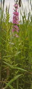 Purple Loosestrife - Invasive Plant