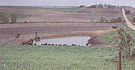 improper cattle watering