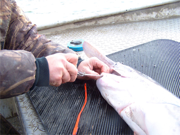 Cut slit in jaw for Paddlefish transportation tag.