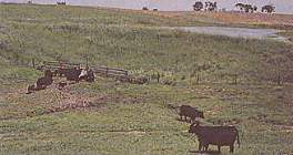 proper cattle watering