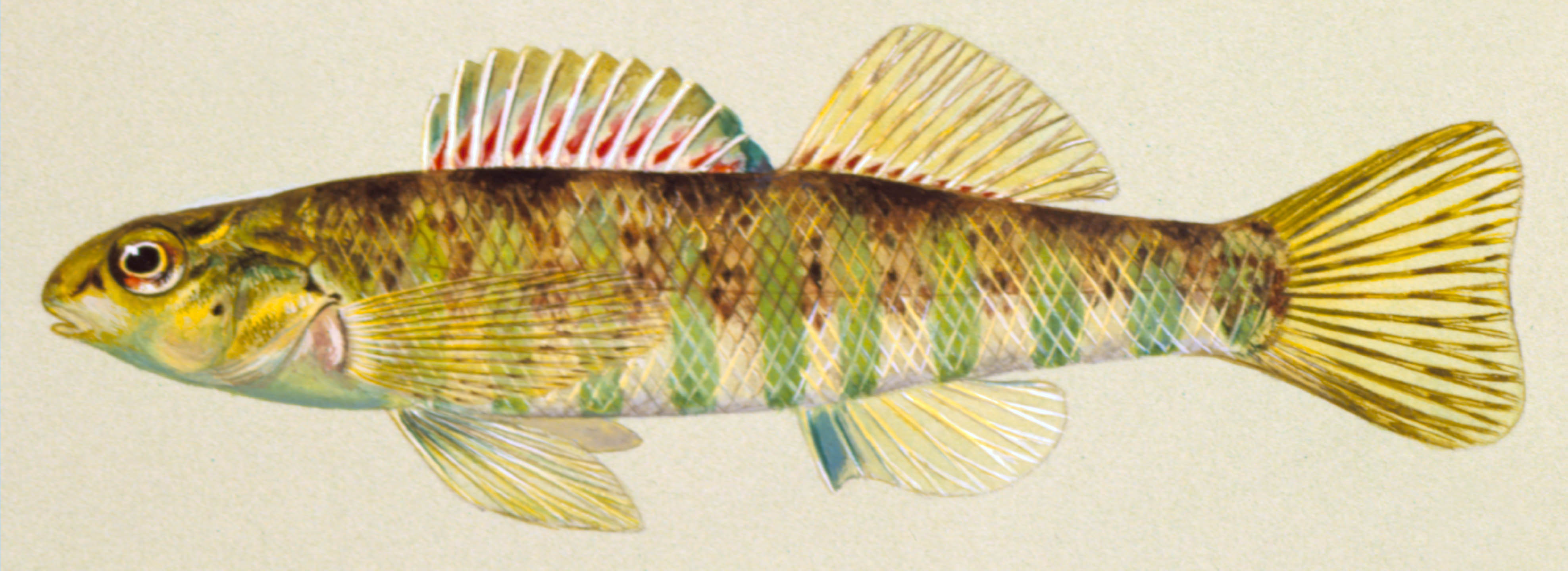 Banded darter, photo courtesy of Ohio Department of Natural Resources