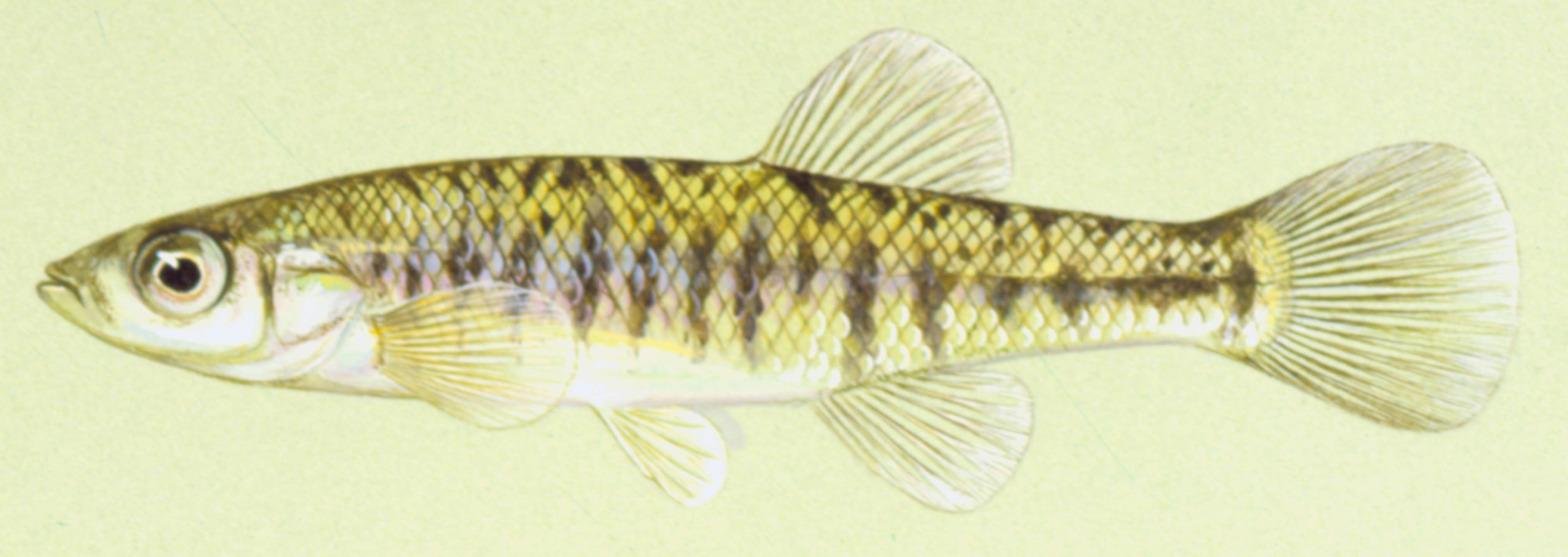 Banded killifish, photo courtesy of Konrad Schmidt, copyright Konrad Schmidt