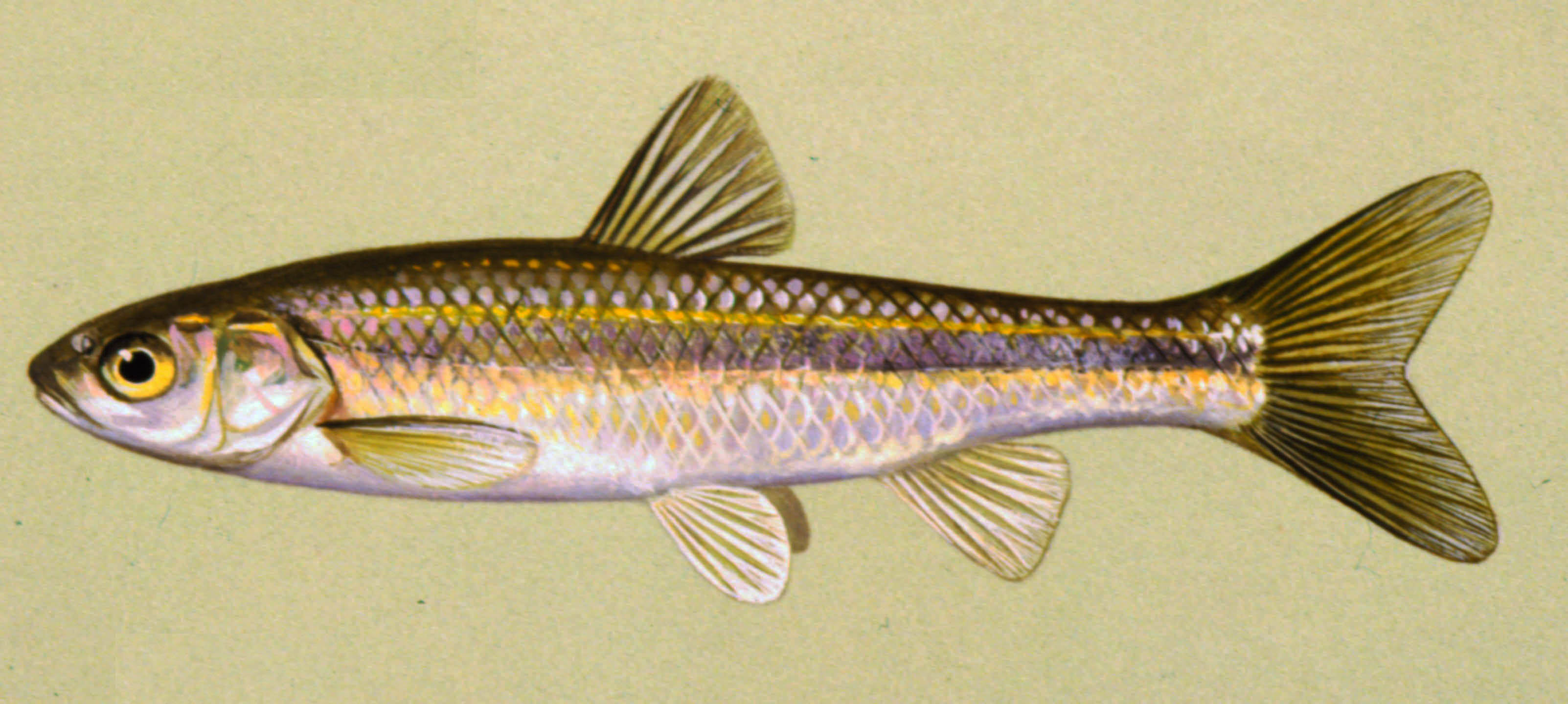 Details brassy minnow for Iowa fishing regulations