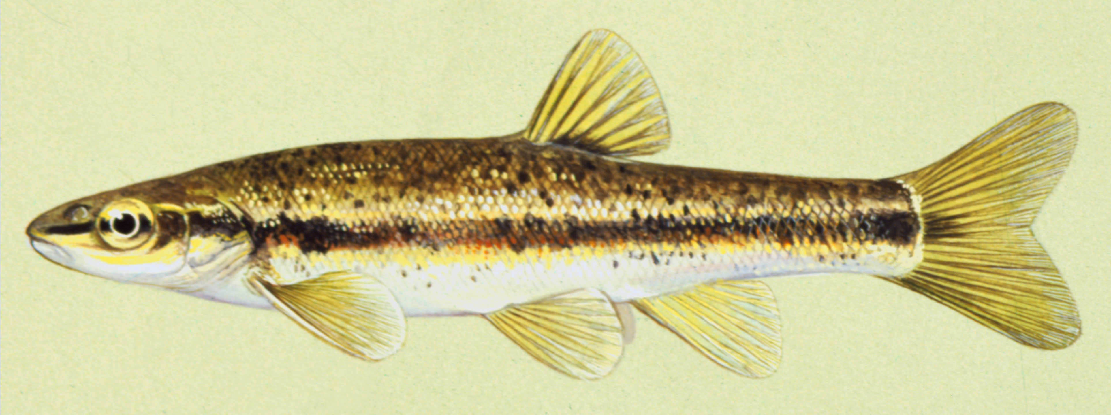 Blacknose Dace, illustration by Maynard Reece, from Iowa Fish and Fishing.