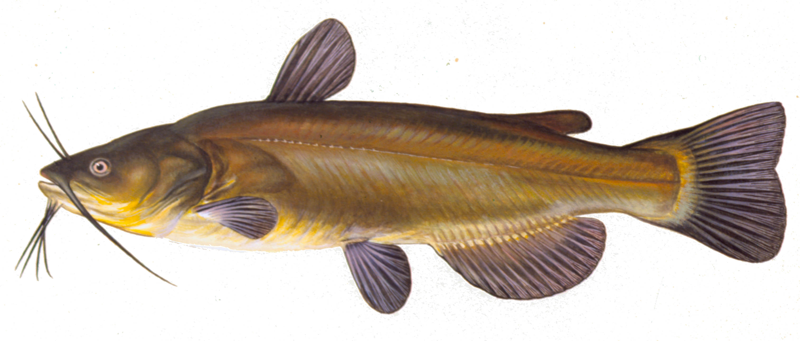 Black Bullhead, illustration by Maynard Reece, from Iowa Fish and Fishing.