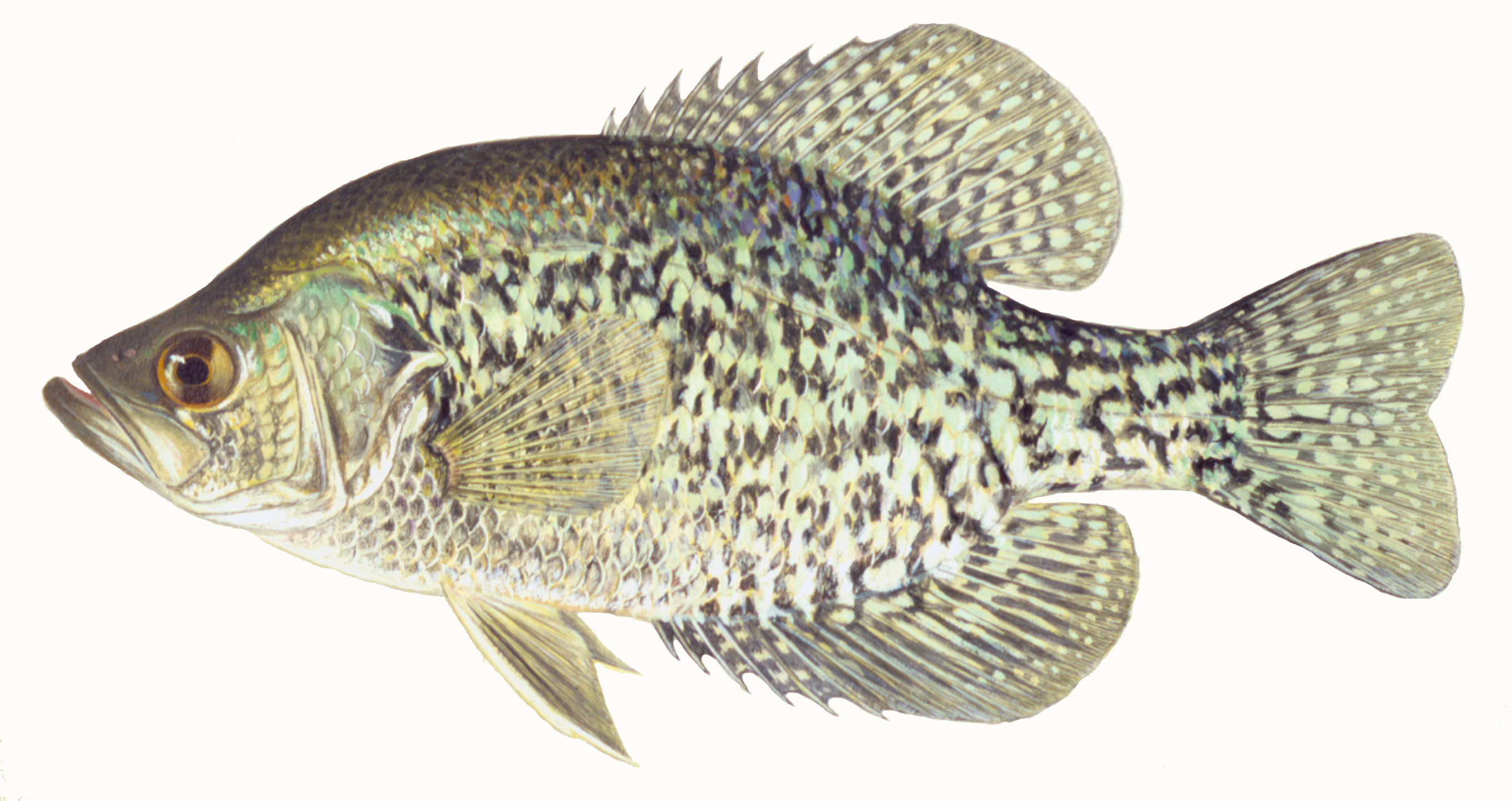 Black Crappie, illustration by Maynard Reece, from Iowa Fish and Fishing.