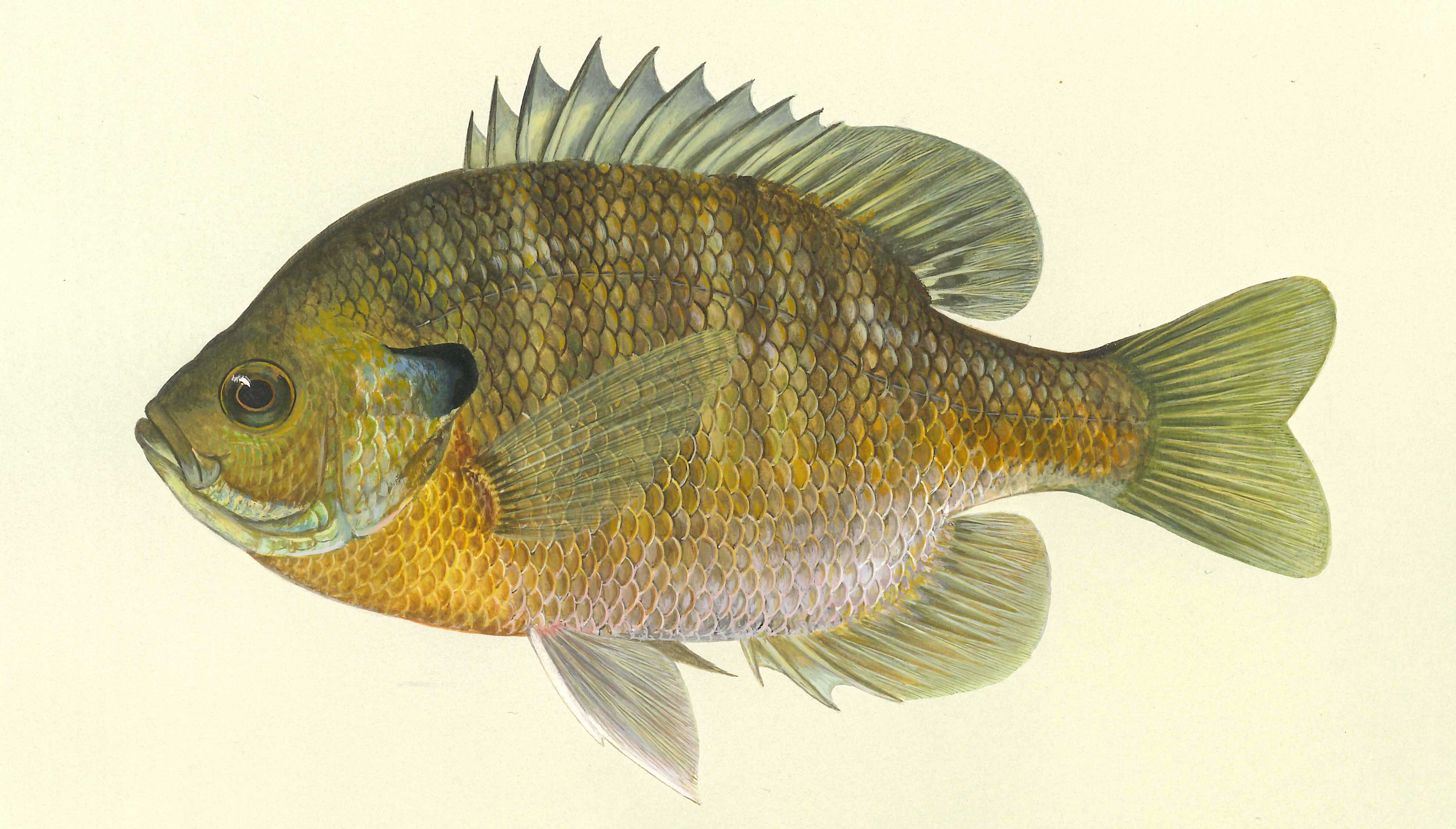 Bluegill, illustration by Maynard Reece, from Iowa Fish and Fishing.