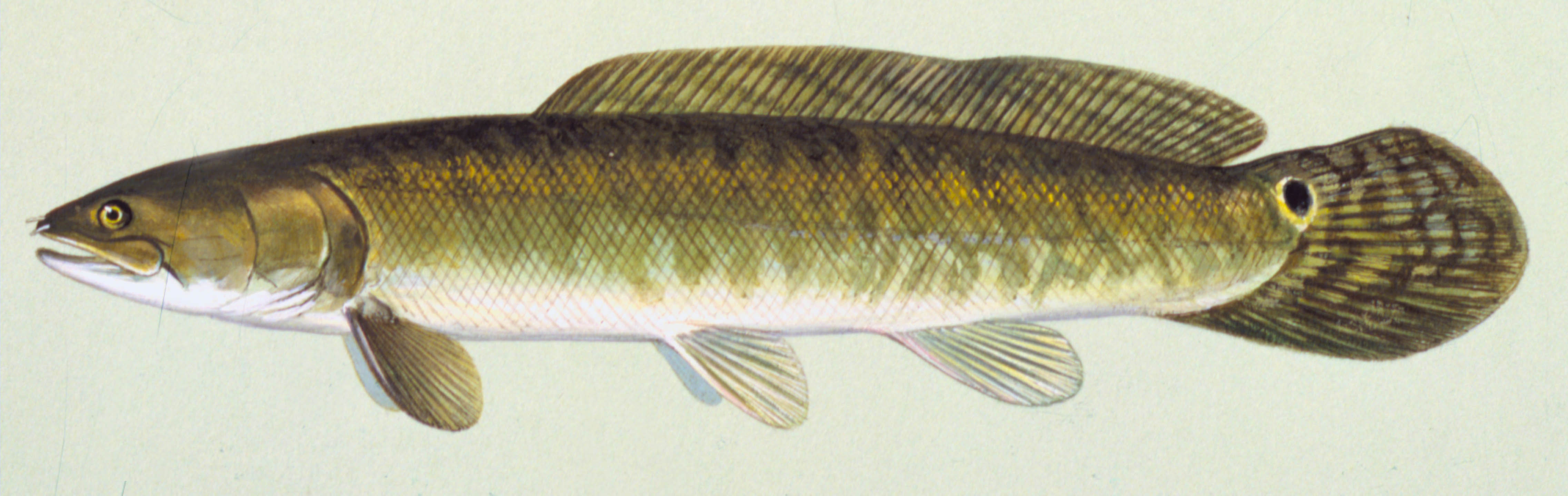 Bowfin, illustration by Maynard Reece, from Iowa Fish and Fishing.