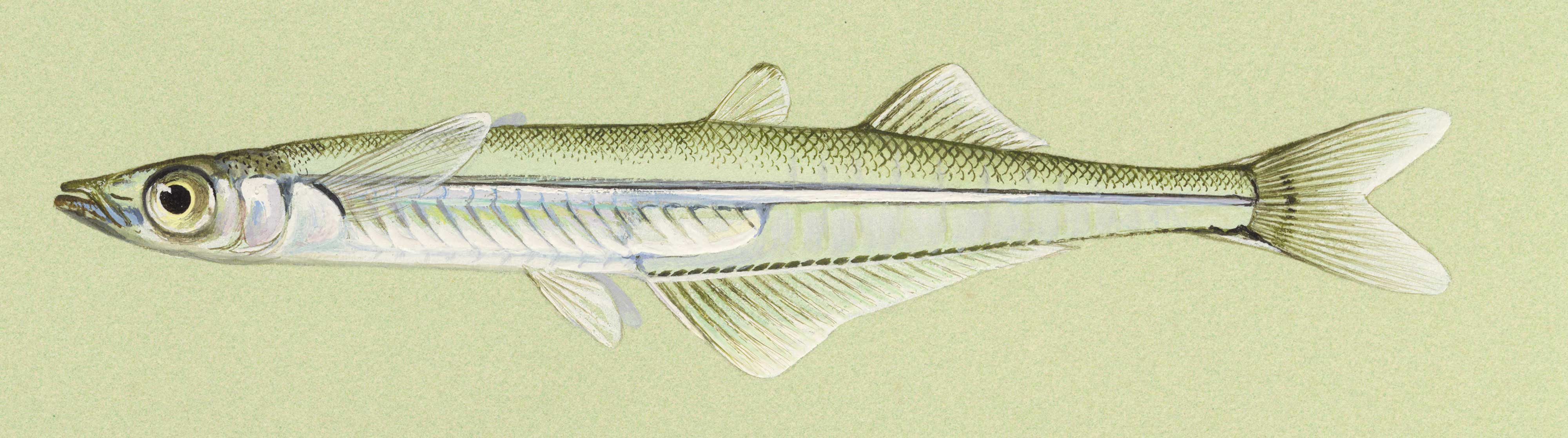 Brook Silverside, illustration by Maynard Reece, from Iowa Fish and Fishing.