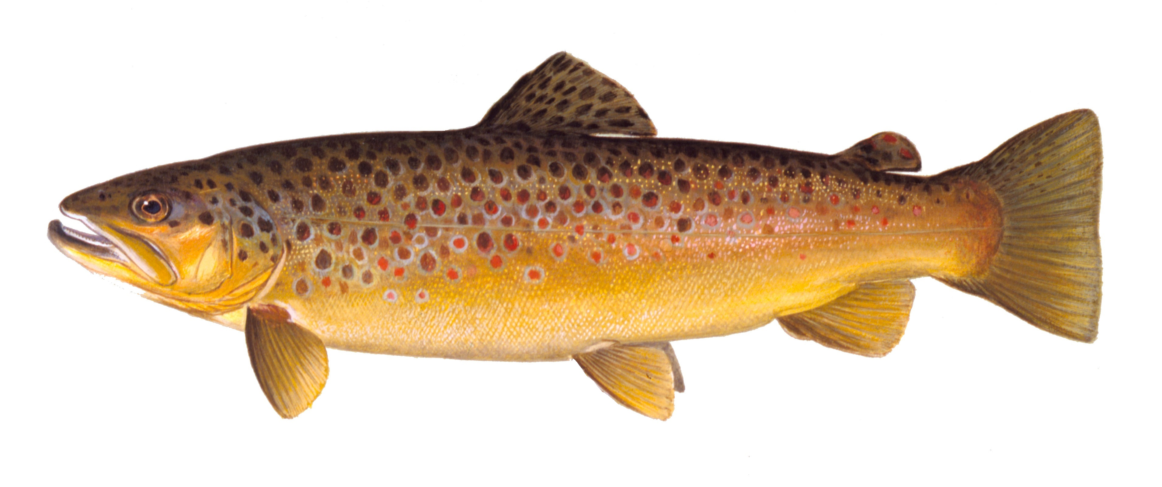 Brown Trout, illustration by Maynard Reece, from Iowa Fish and Fishing.