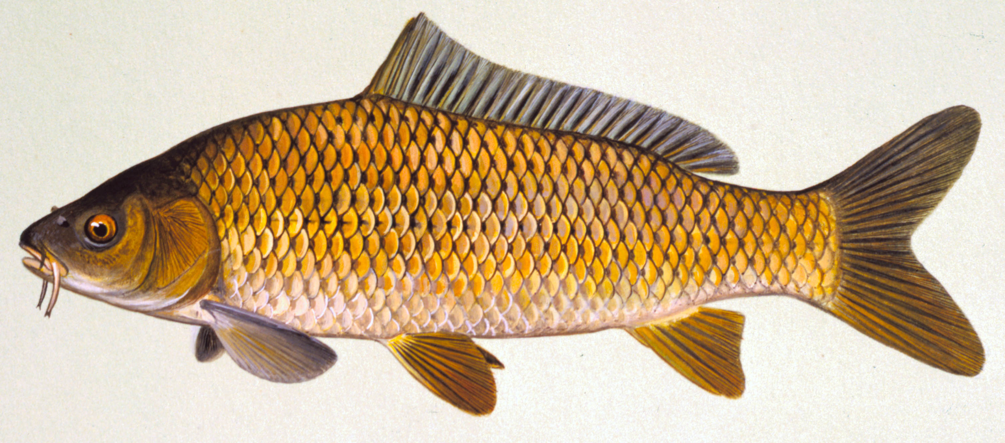 Common Carp, illustration by Maynard Reece, from Iowa Fish and Fishing.