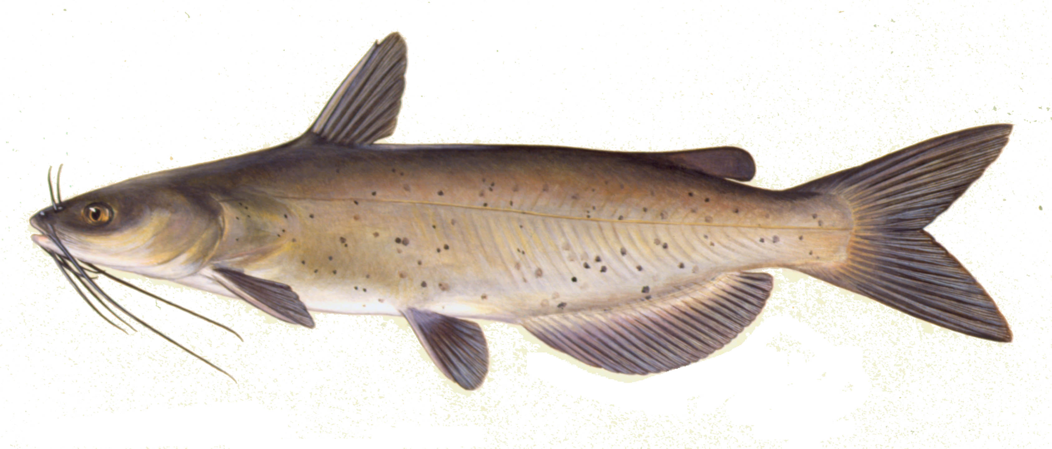 Channel Catfish, illustration by Maynard Reece, from Iowa Fish and Fishing.