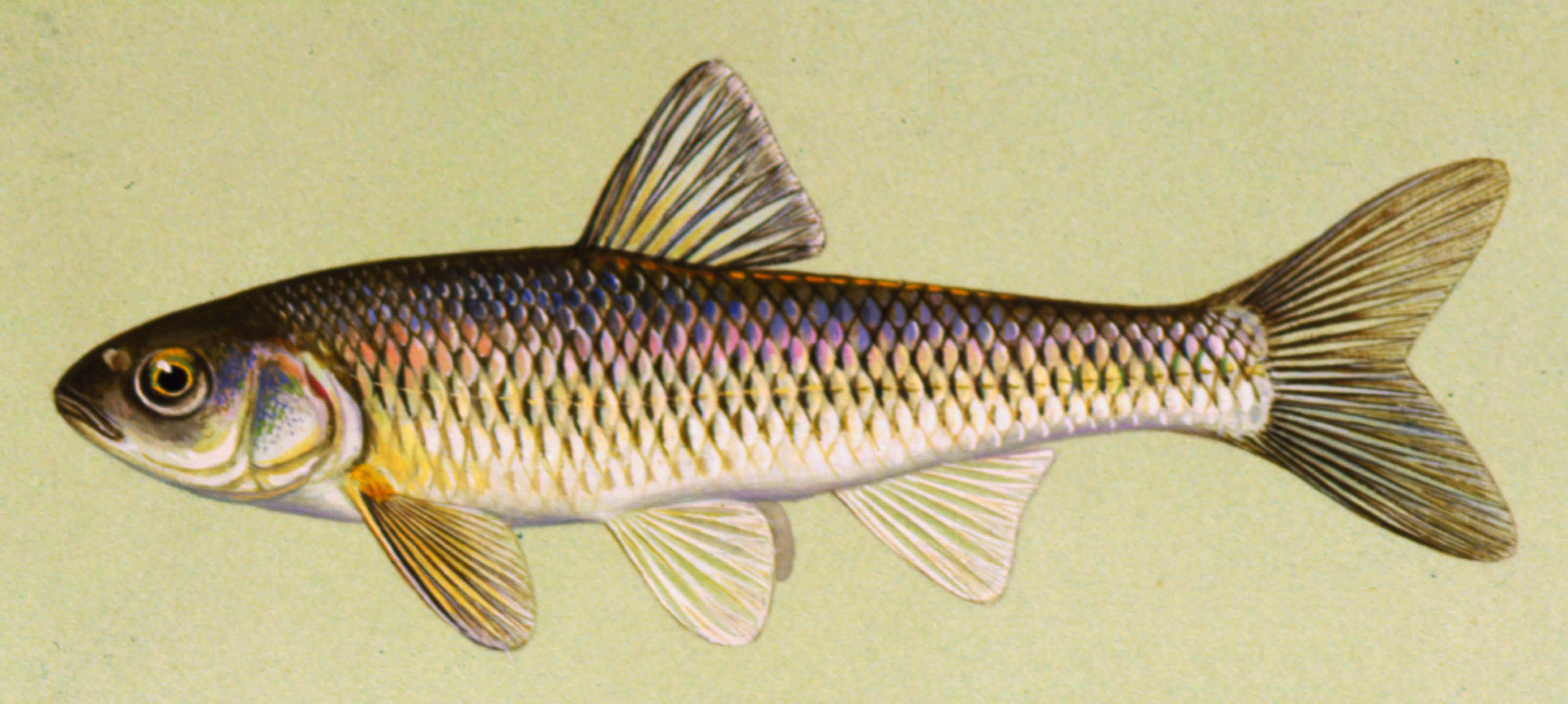 Common Shiner, illustration by Maynard Reece, from Iowa Fish and Fishing.