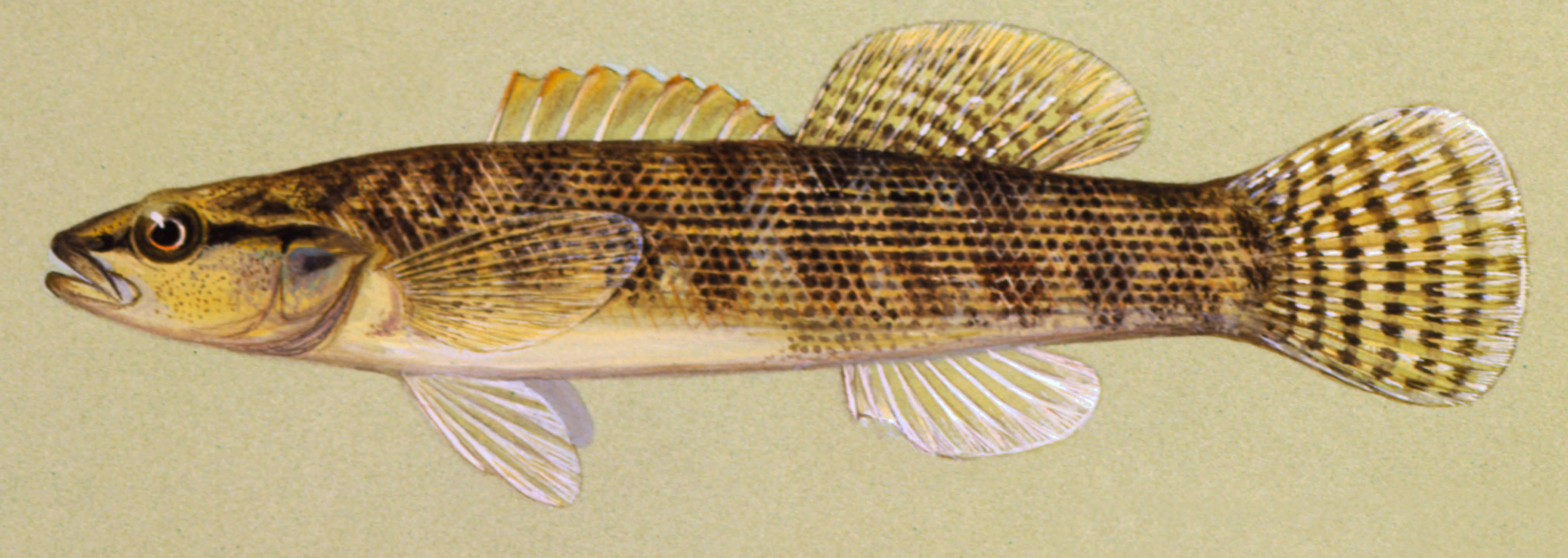 Fantail Darter, illustration by Maynard Reece, from Iowa Fish and Fishing.