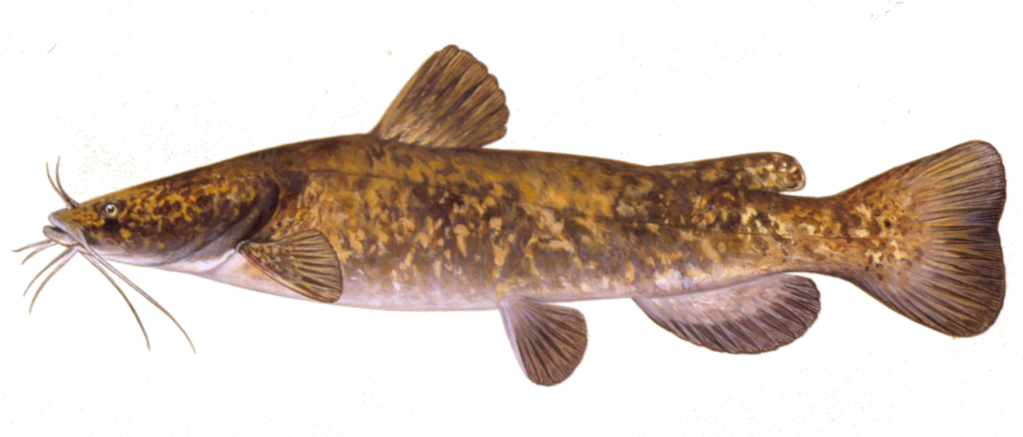 Details flathead catfish for Iowa fishing regulations