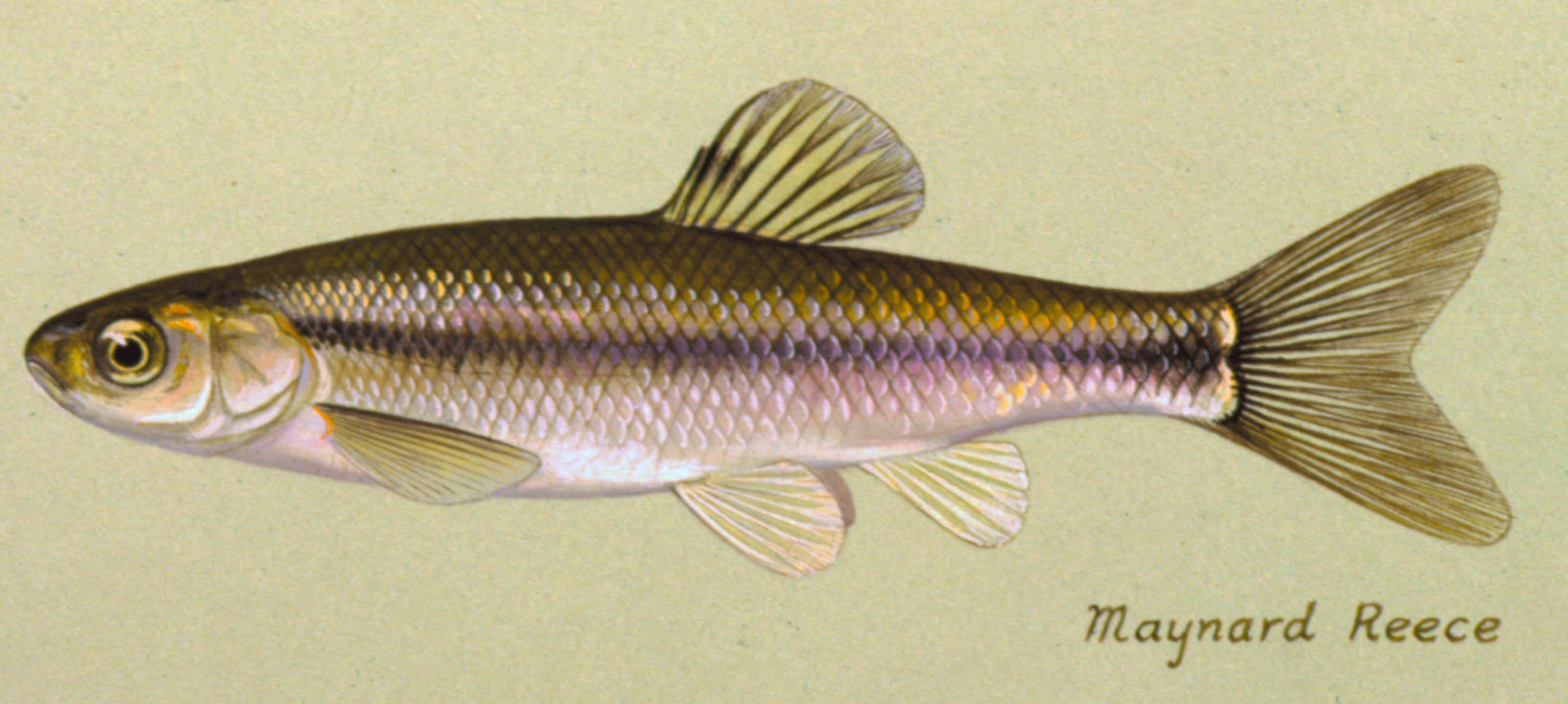 Fathead Minnow, illustration by Maynard Reece, from Iowa Fish and Fishing.