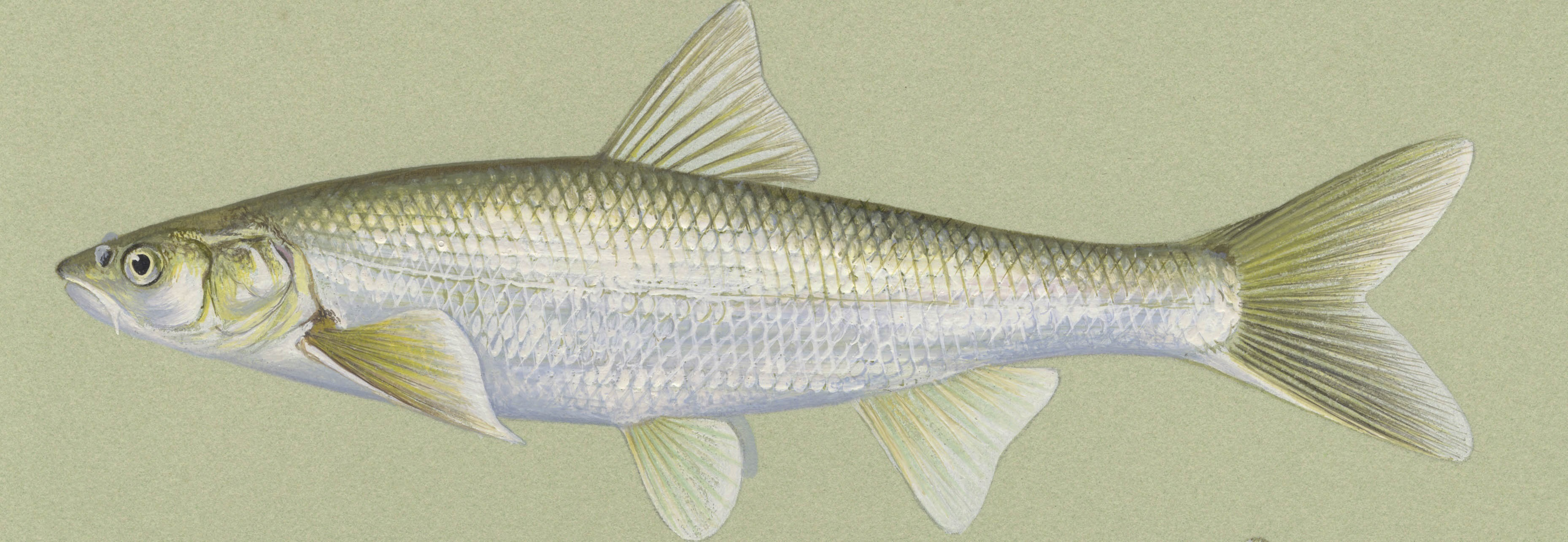 Chub Fish | Details Flathead Chub