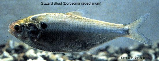 Gizzard Shad, photo courtesy of Konrad P. Schmidt, copyright Konrad P. Schmidt.