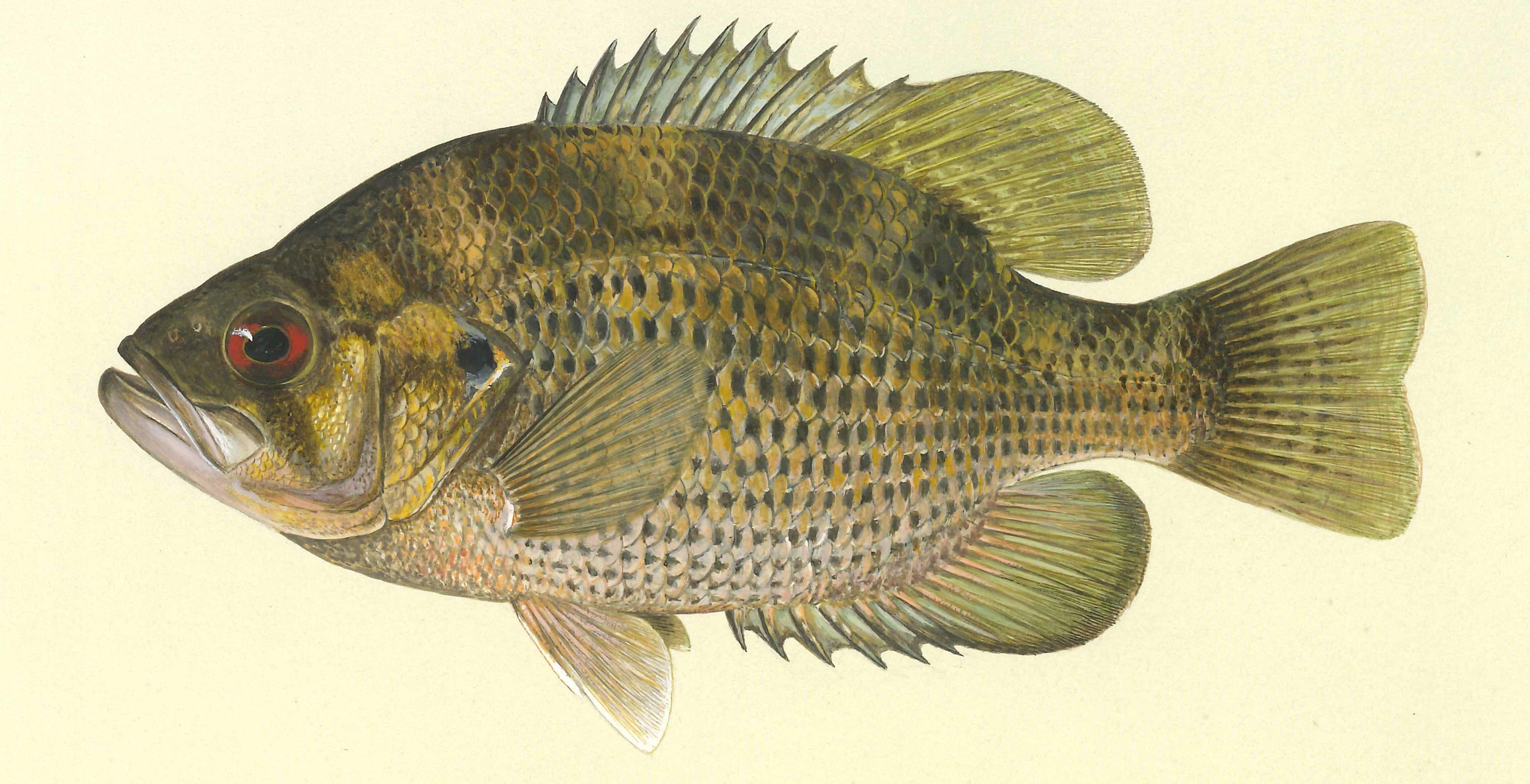 Details rock bass for Pond fish species
