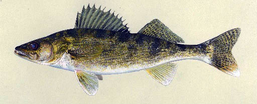 Walleye, illustration by Maynard Reece, from Iowa Fish and Fishing.