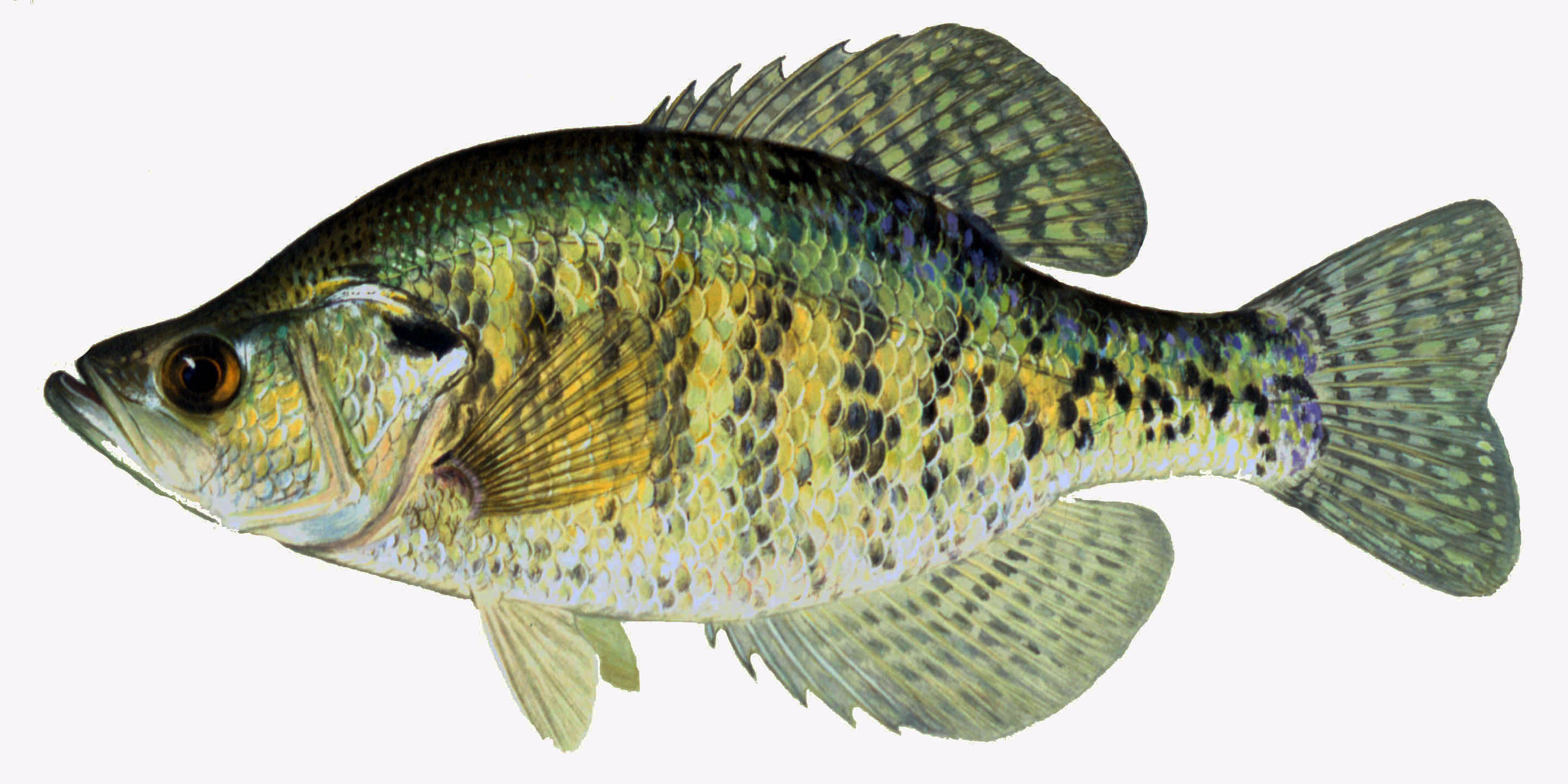 Details white crappie for Iowa fishing regulations