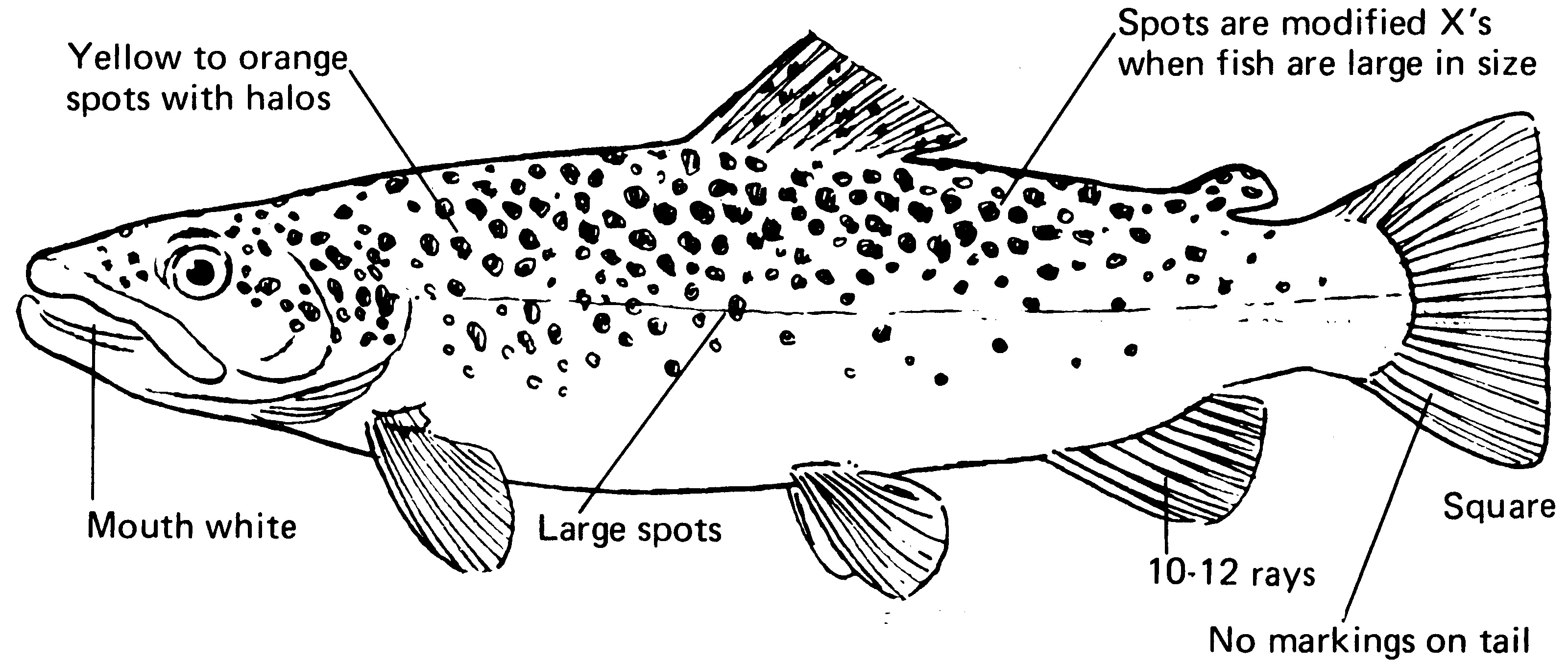 characteristics of a brown trout