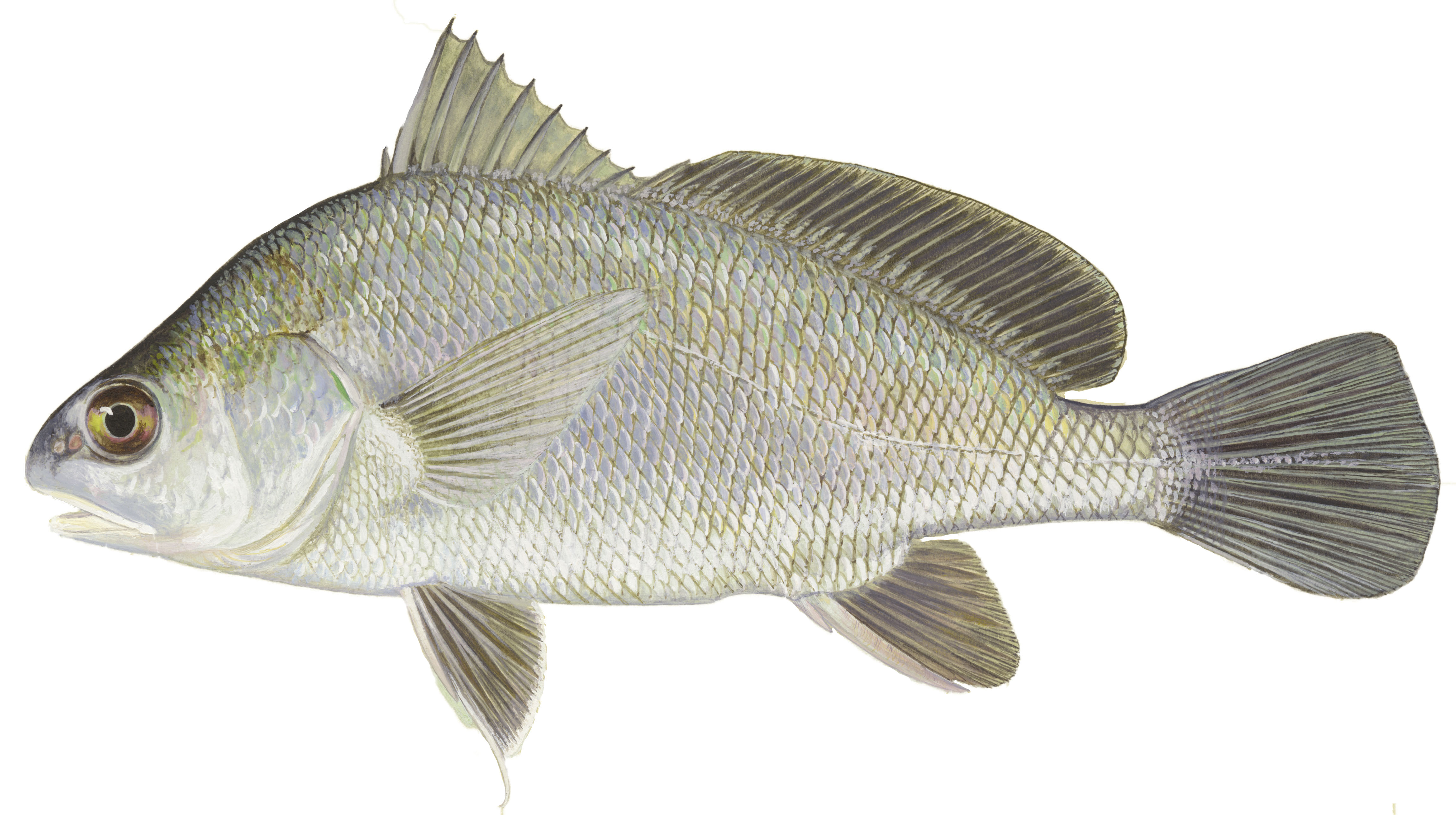 Freshwater Drum, illustration by Maynard Reece, from Iowa Fish and Fishing.