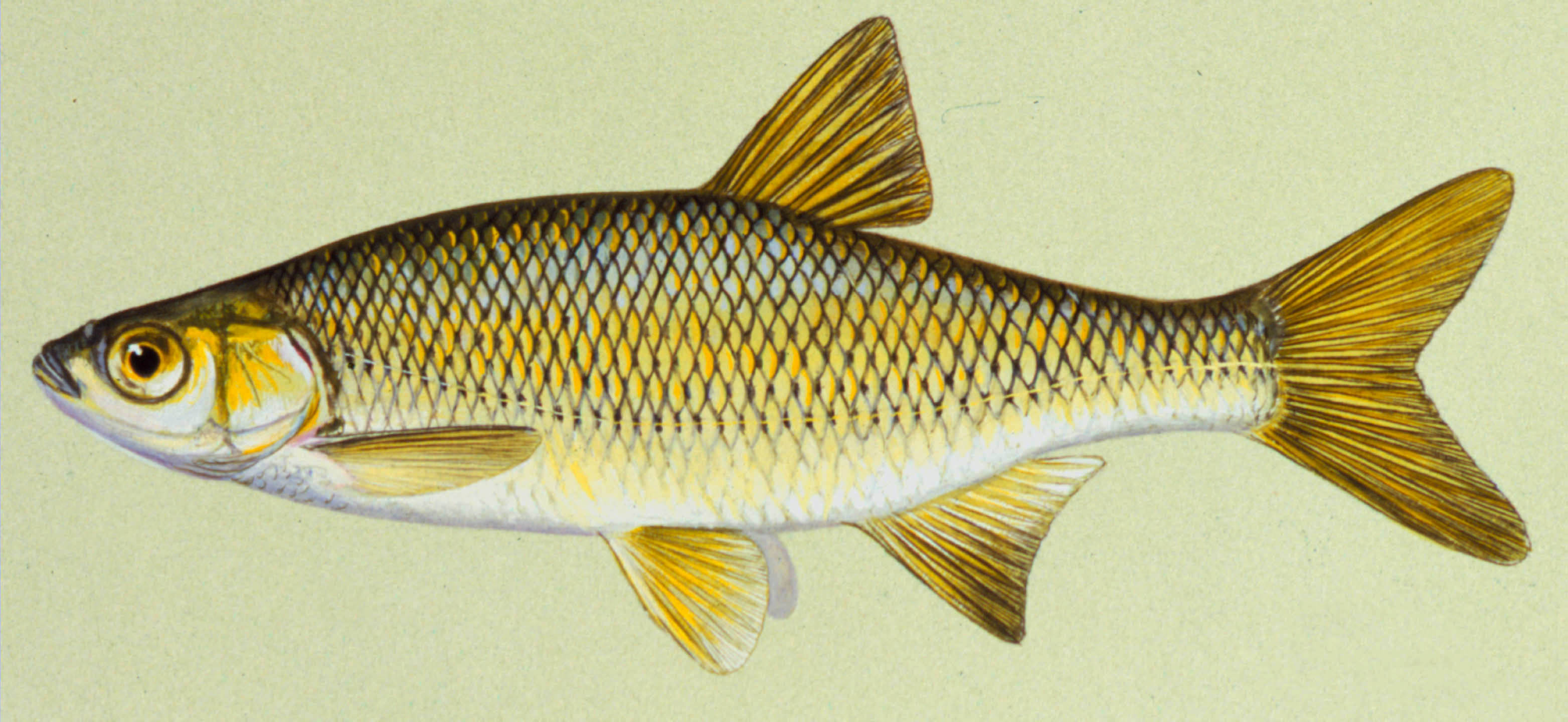 Golden Shiner, illustration by Maynard Reece, from Iowa Fish and Fishing.