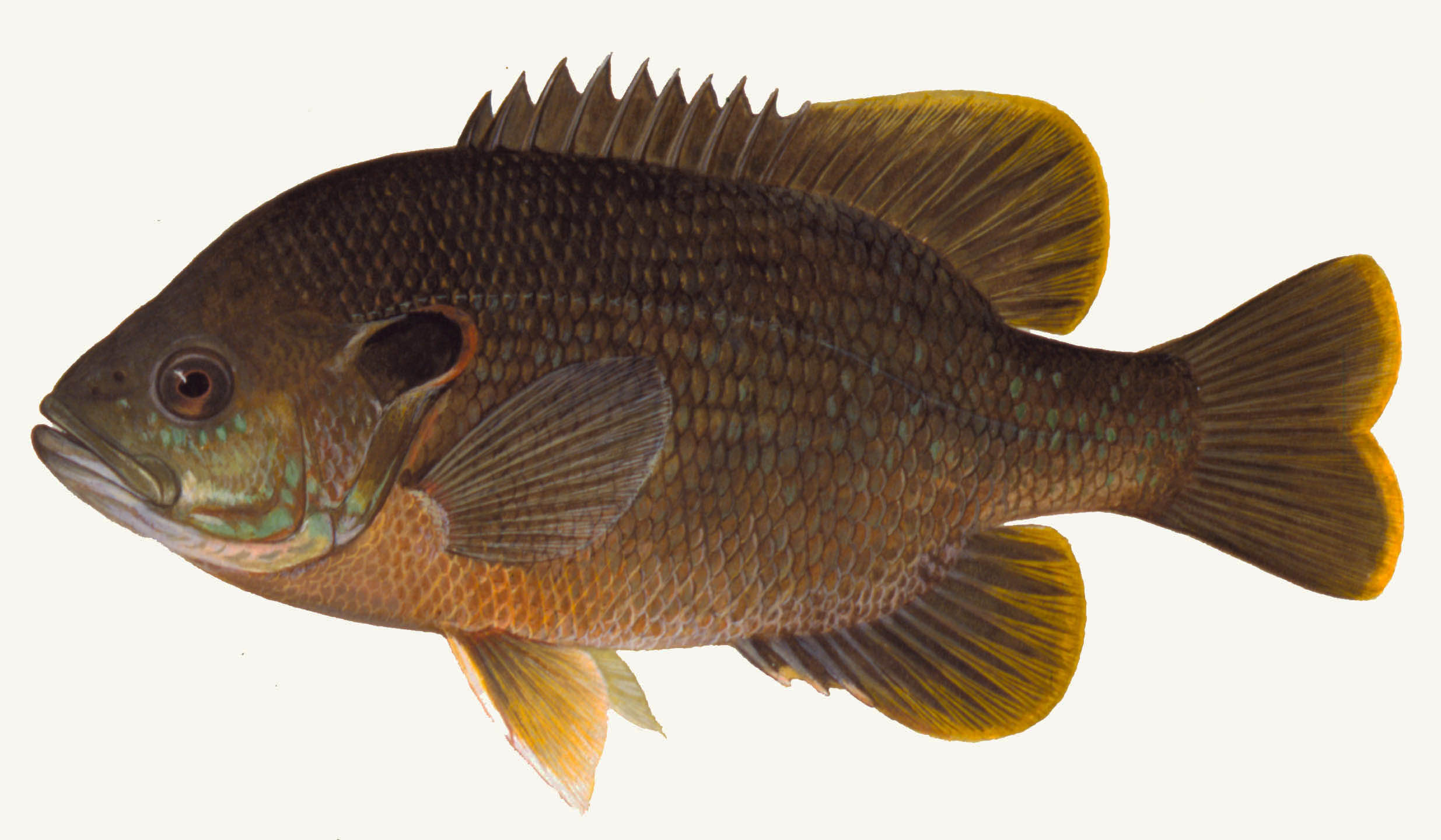 Green Sunfish, illustration by Maynard Reece, from Iowa Fish and Fishing.