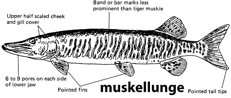 characteristics of a muskellunge