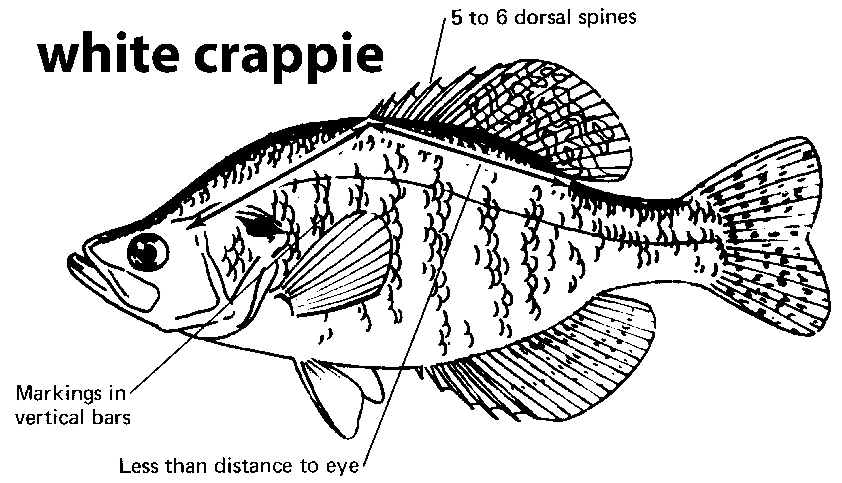 characteristics of a white crappie