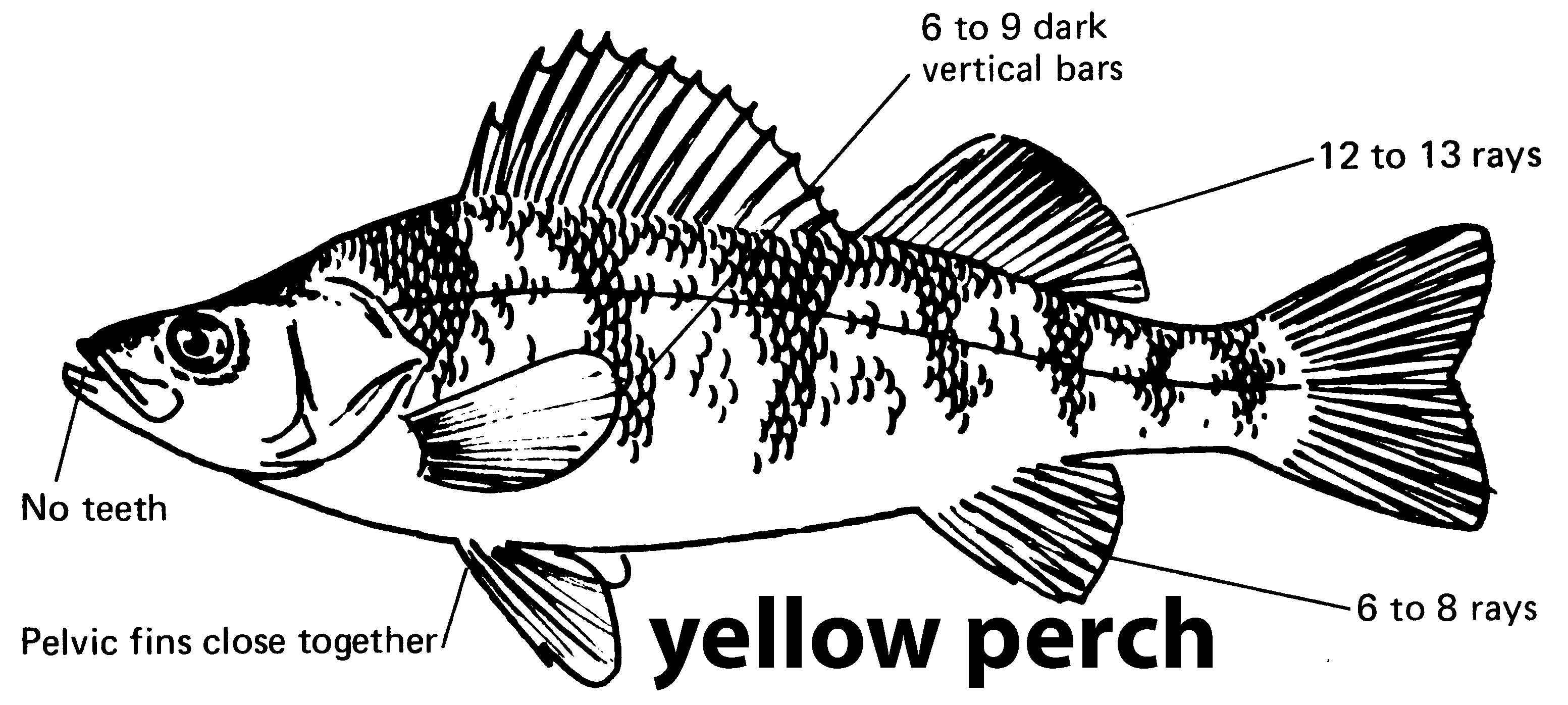 characteristics of a yellow perch