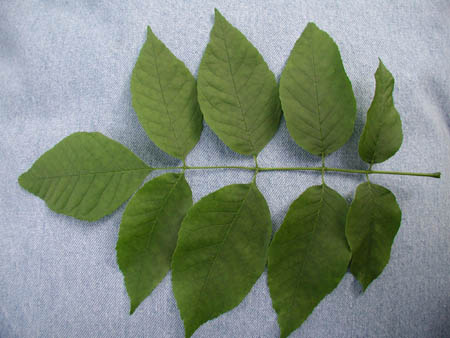 ash compound leaf
