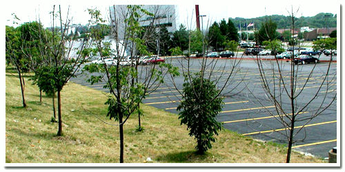 Dying Ash trees near a parking lot