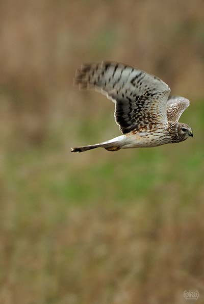 photo of owl in flight