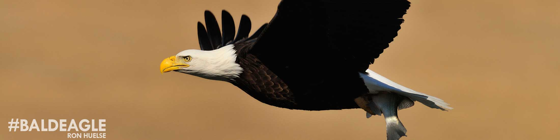 wildlife_eagle01