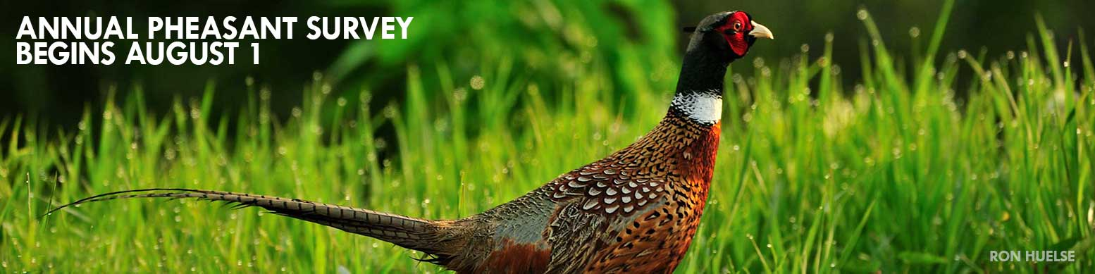 Annual Pheasant Survey begins August 1