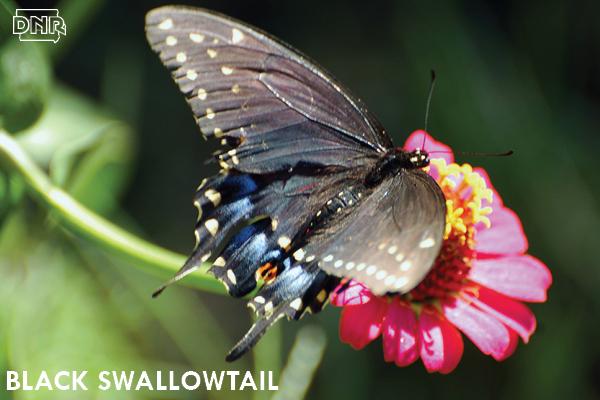 Black swallowtail butterfly | Iowa DNR