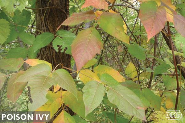 Poison ivy | Iowa DNR