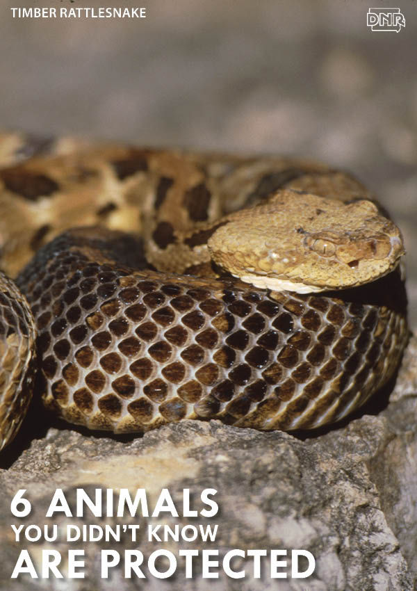 Did you know most snakes are protected species in Iowa? | Iowa DNR