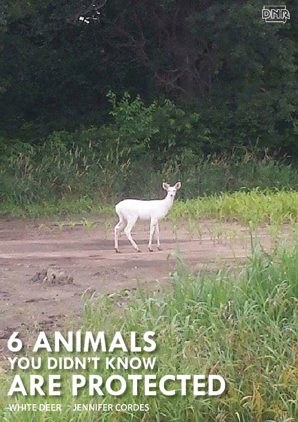 Predominately white deer are protected in Iowa | Iowa DNR