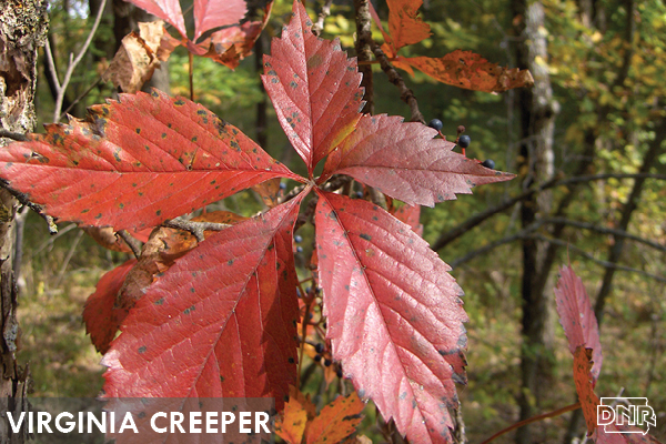 Virginia creeper | Iowa DNR