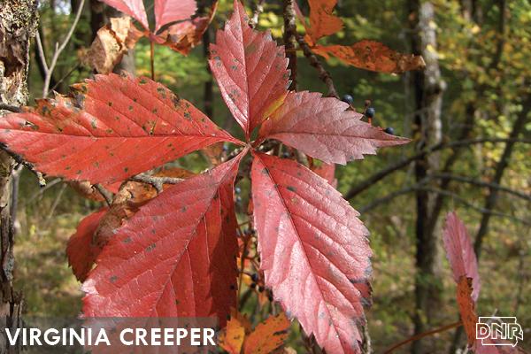 Virginia creeper | Iowa DNR
