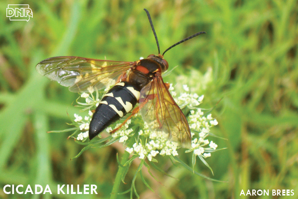 Cicada killer | Iowa DNR